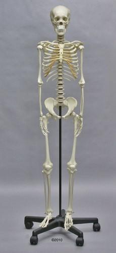 Heranwachsenden-Skelett
