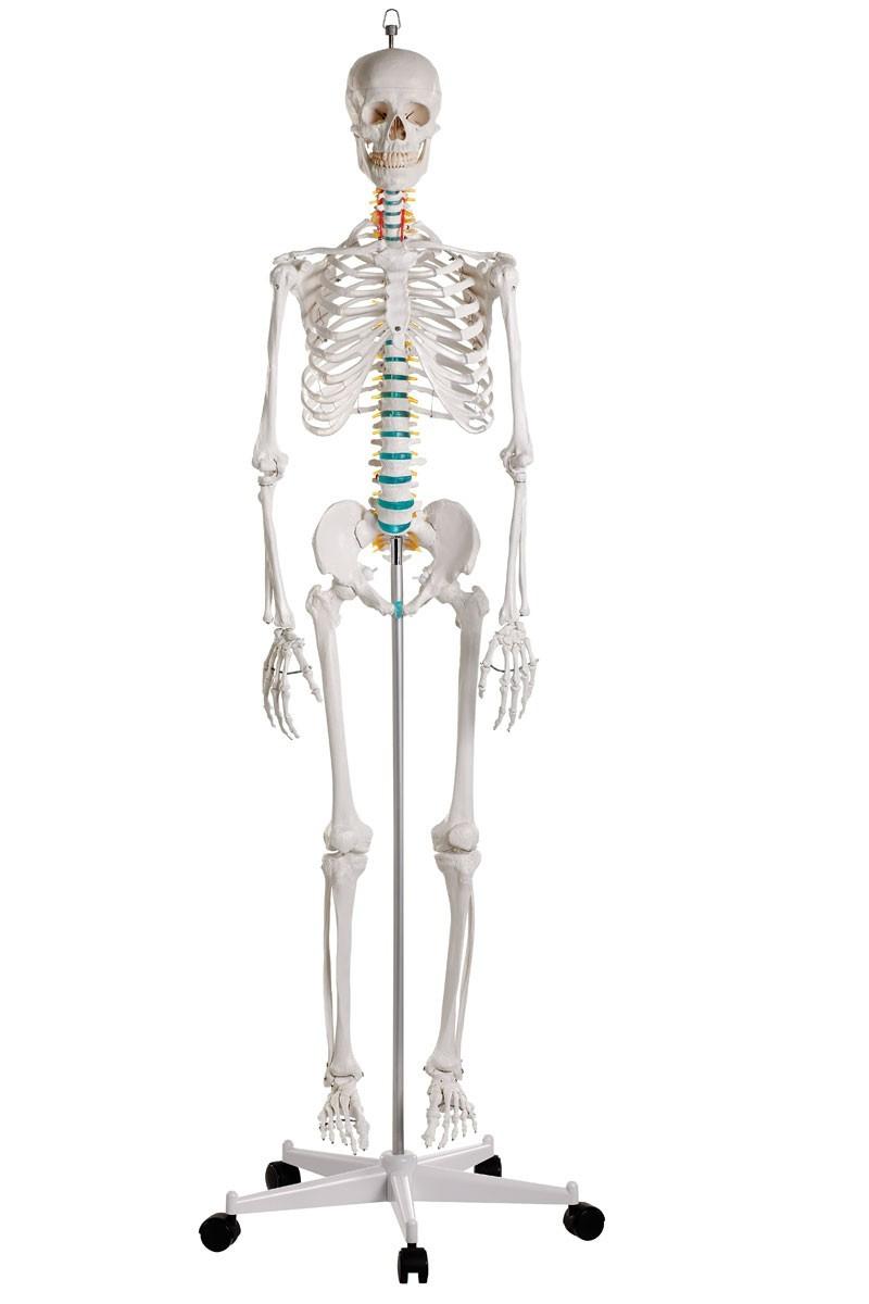 Anatomie Skelett-Modelle | Mensch | auch lebensgroß | Anatomy-Online