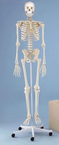 """Skelett Modell  """"Willi"""""""