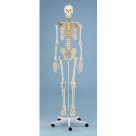 "Skelett ""Otto"" mit Bandapparat"