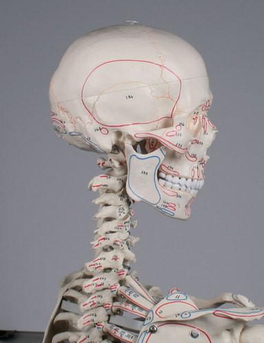 """Skelett Modell """"Arnold"""" mit Muskelmarkierungen"""