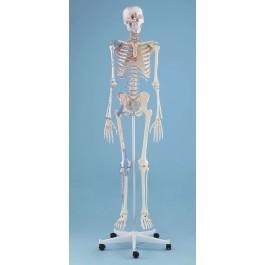 """Skelett Modell  """"Bert"""" mit Muskelmarkierungen und Bandapparat"""