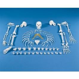 Skelett, unmontiert (Knochensammlung)