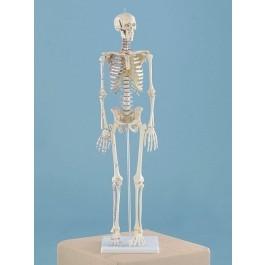 """Miniatur-Skelett """"Daniel"""" mit Muskelmarkierungen"""