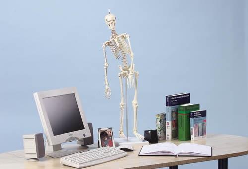 """Miniatur Skelett Modell  """"Fred"""" beweglich, mit Muskelmarkierungen"""