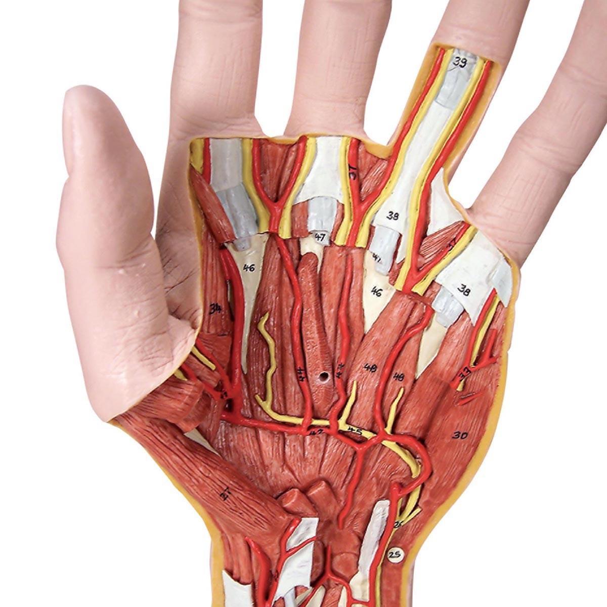 Hand-Struktur-Modell, 3-teilig