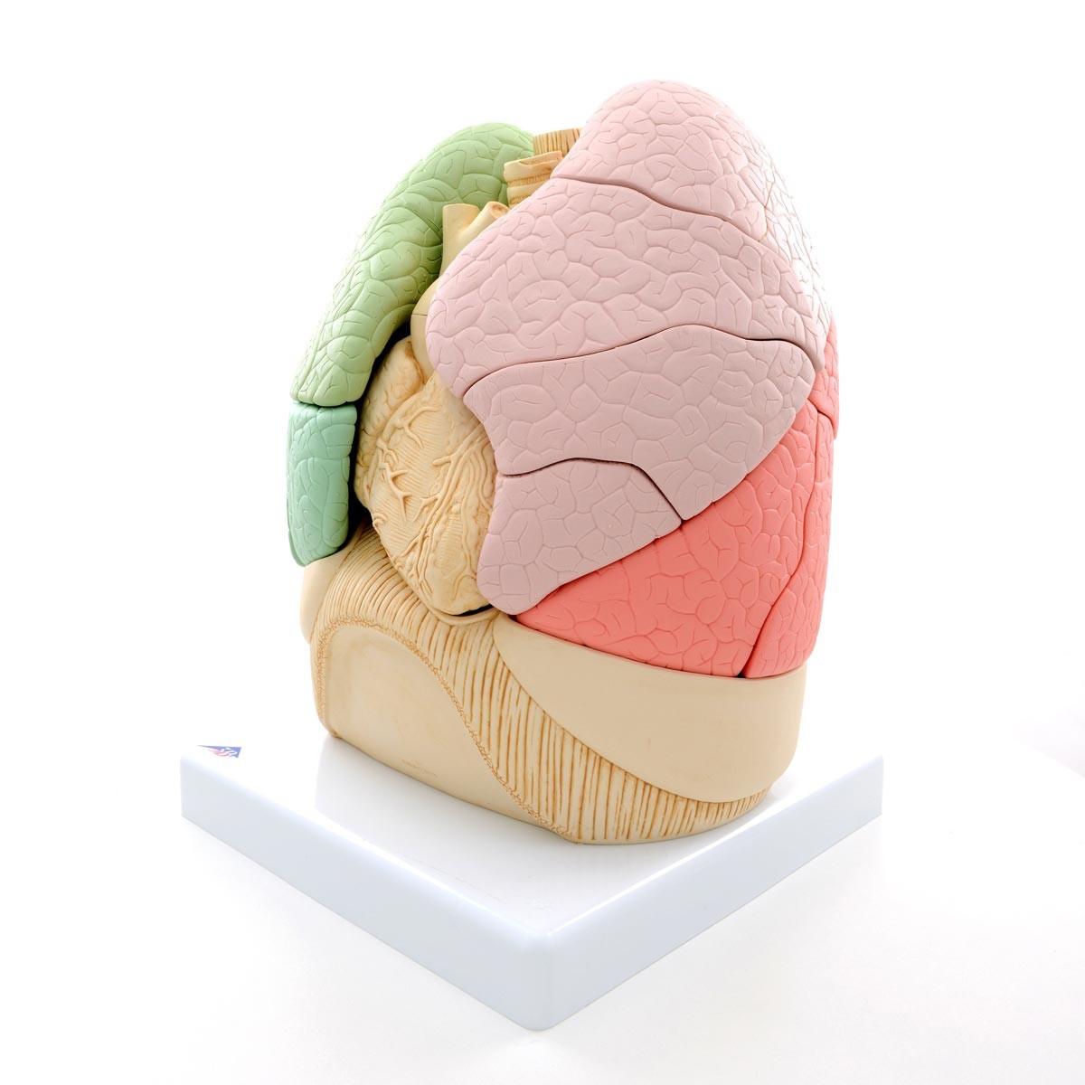 Segmentierte Lunge