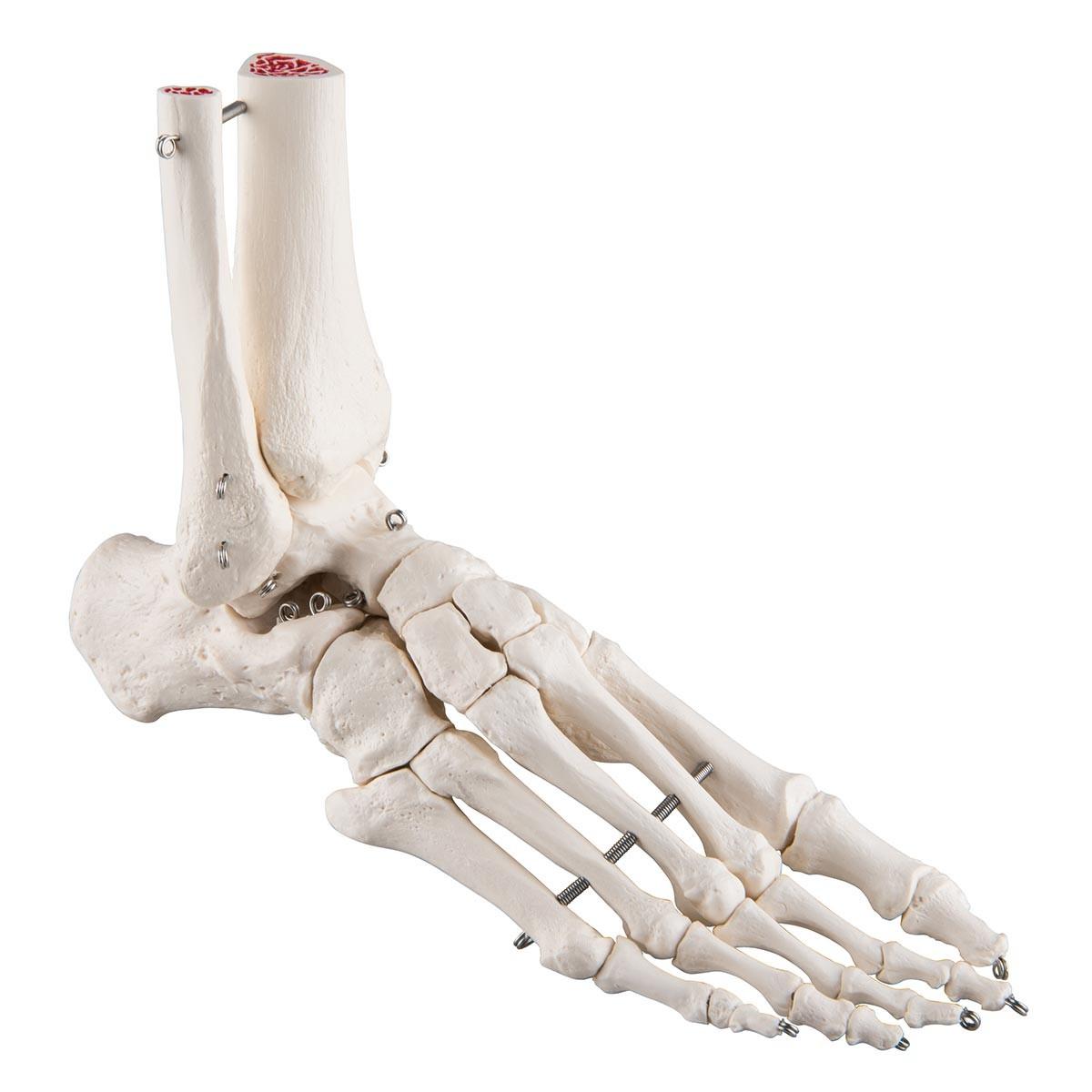 Fußskelett mit Schienbein- und Wadenbeinstumpf, auf Draht gezogen