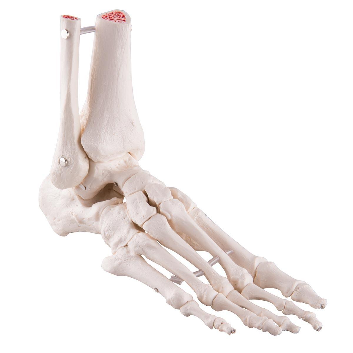 Fußskelett mit Schienbein- und Wadenbeinstumpf, elastisch montiert