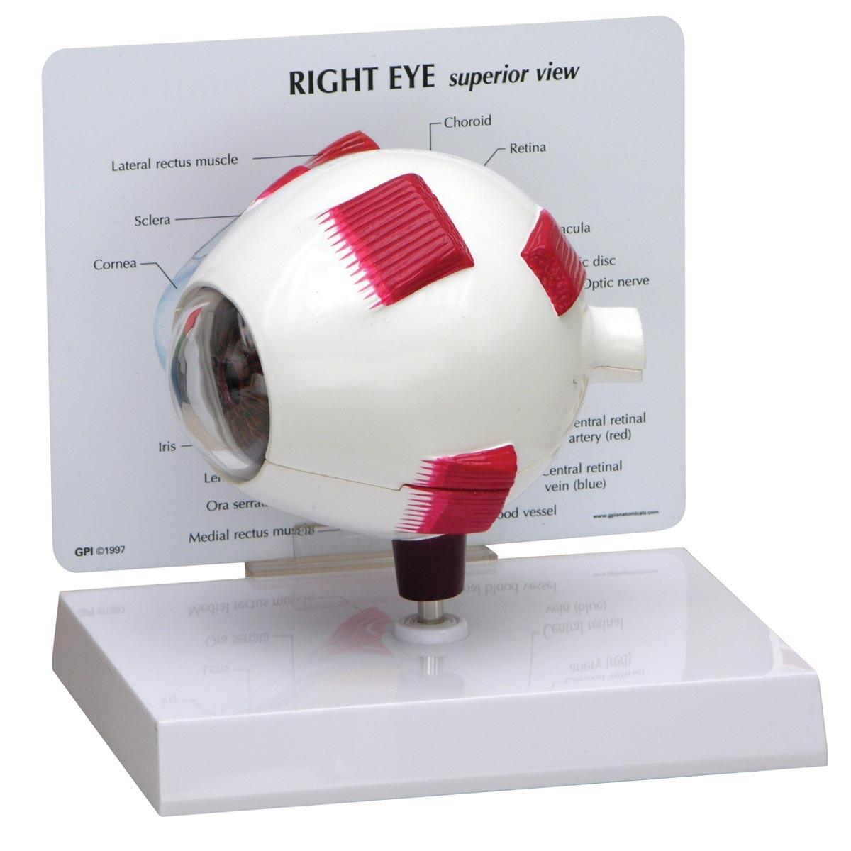 Vollständiges Augenmodell