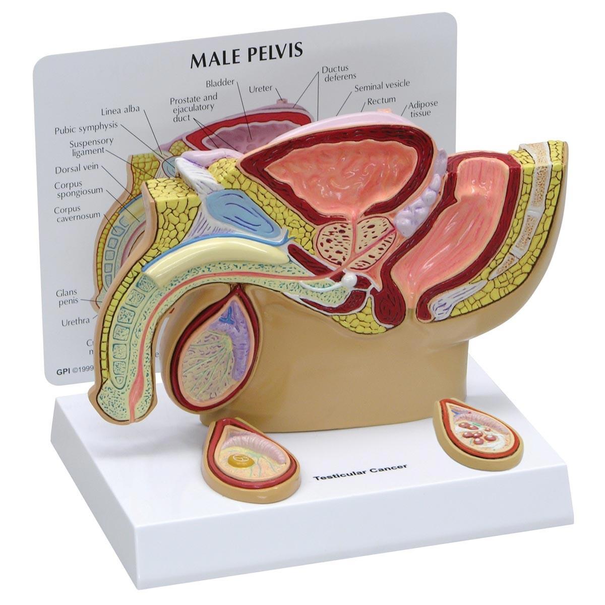 Modell eines männlichen Beckens mit Hoden