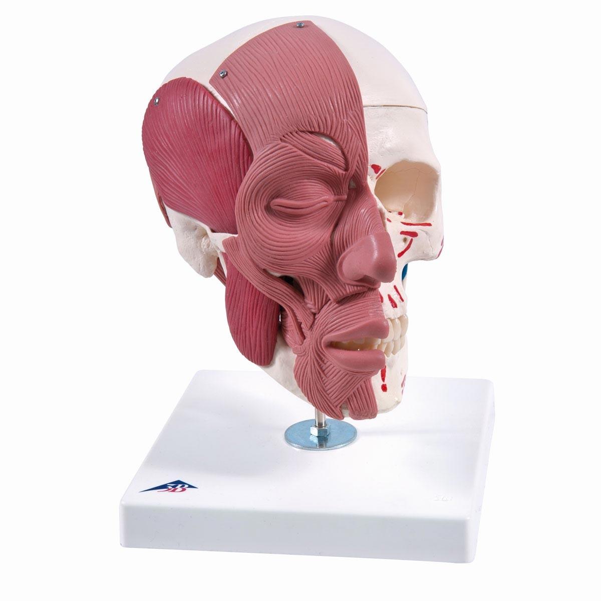 Schädelmodell mit Gesichtsmuskulatur 6