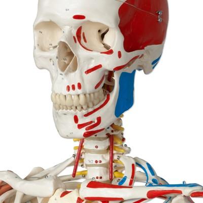 Luxus Skelett Modell Sam