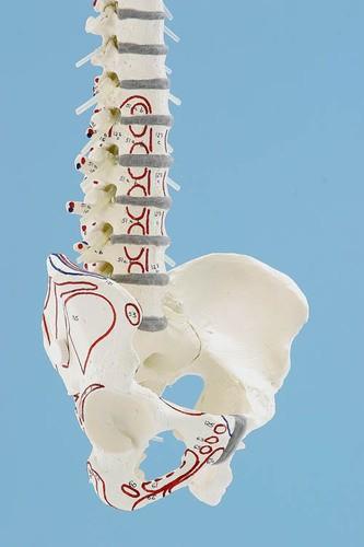 Wirbelsäule mit Becken und Stativ, mit Muskelmarkierungen