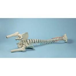 Wirbelsäule Modell mit Oberschenkelstümpfen und Becken