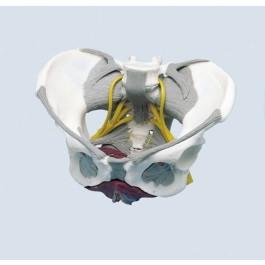 Weibliches Becken mit Bandapparat, Nerven und Beckenboden
