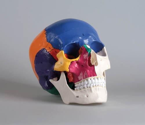 Didaktischer Schädel, 3-teilig