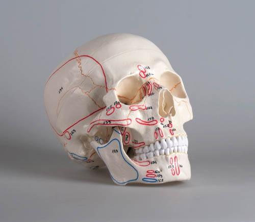 Schädelmodell mit Muskelmarkierungen