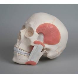 Schädel mit Kaumuskulatur, 2-teilig