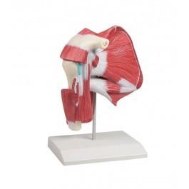 Modell der Schultermuskulatur mit tiefen Muskeln