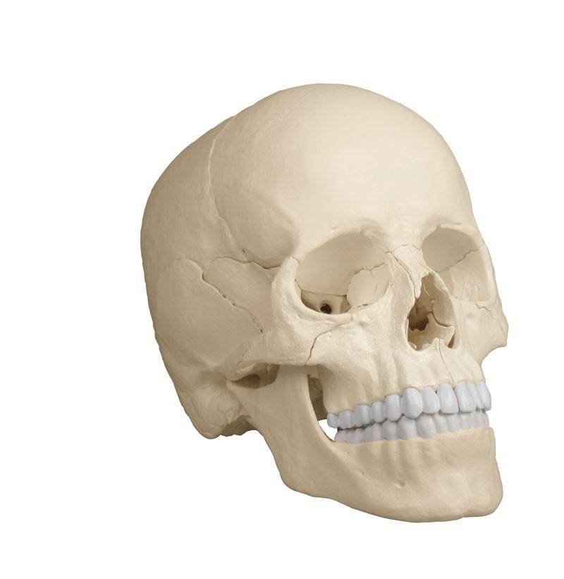 Osteopathie-Schädelmodell, 22-teilig, anatomische Ausführung