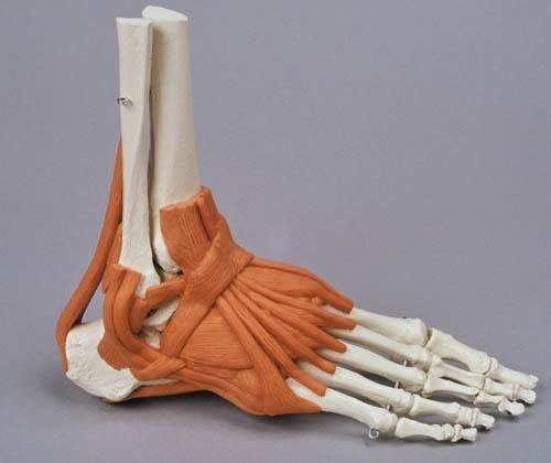 Fußskelett mit Bandapparat
