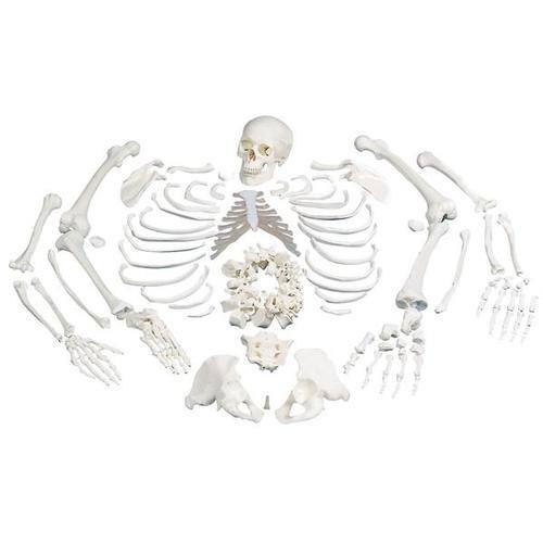 Skelett, unmontiert, komplett mit 3-teiligem Schädel