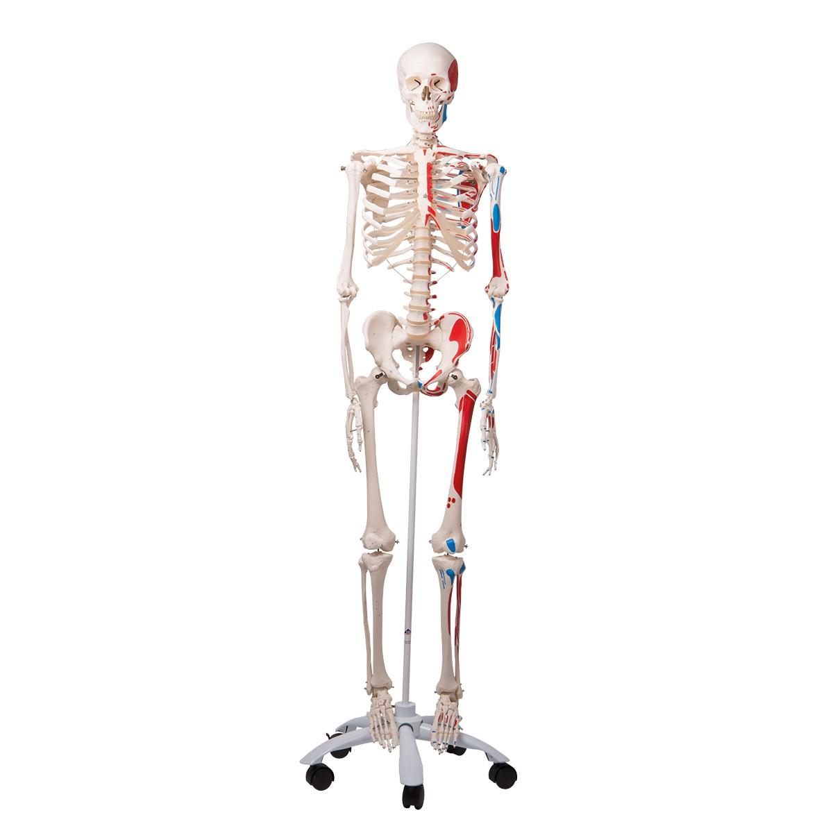 Anatomie Modell\' \'Skelett Modell\' \'Skelett lebensgroß\'