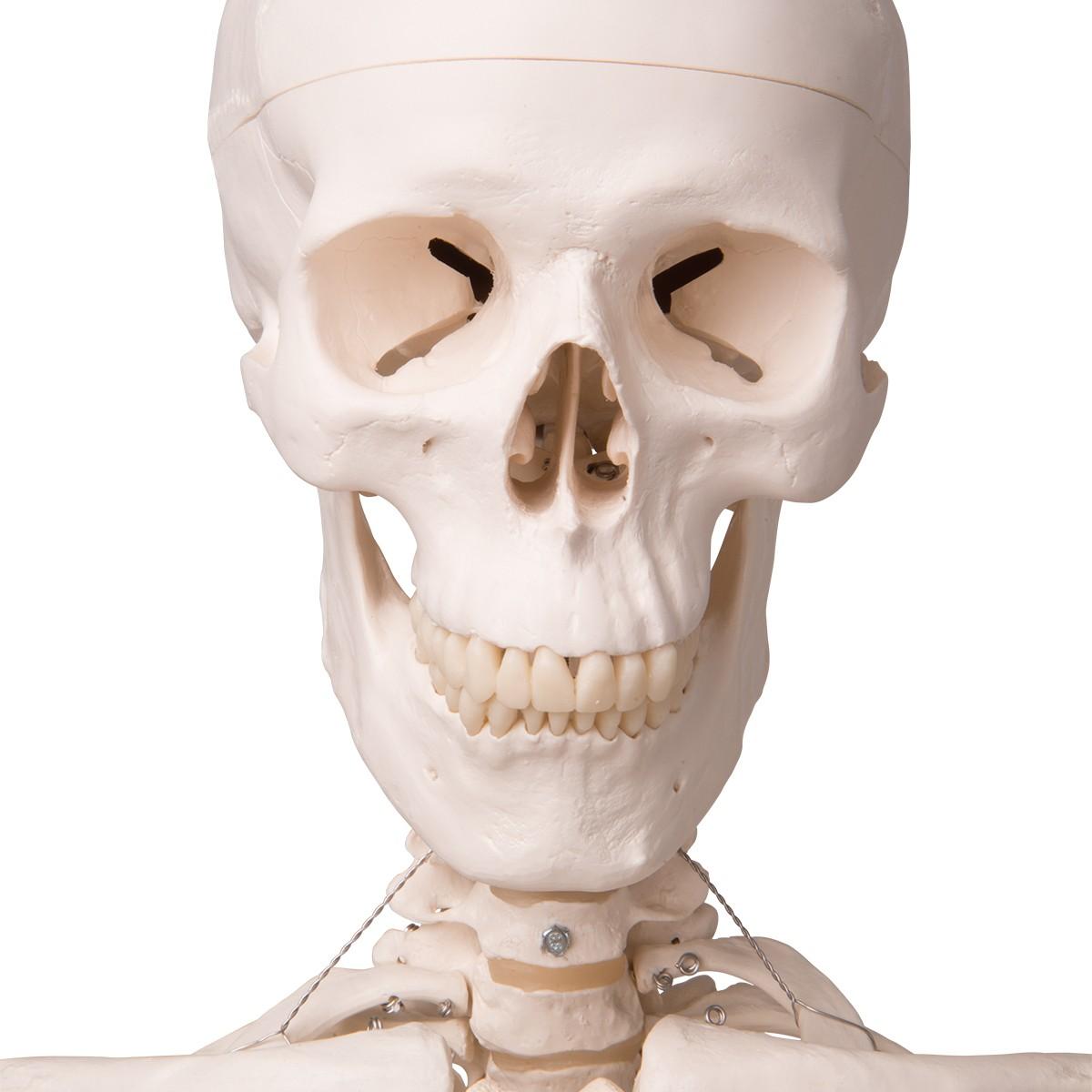 Skelett Modell Leo mit Gelenkbändern, auf 5-Fuß-Rollenstativ
