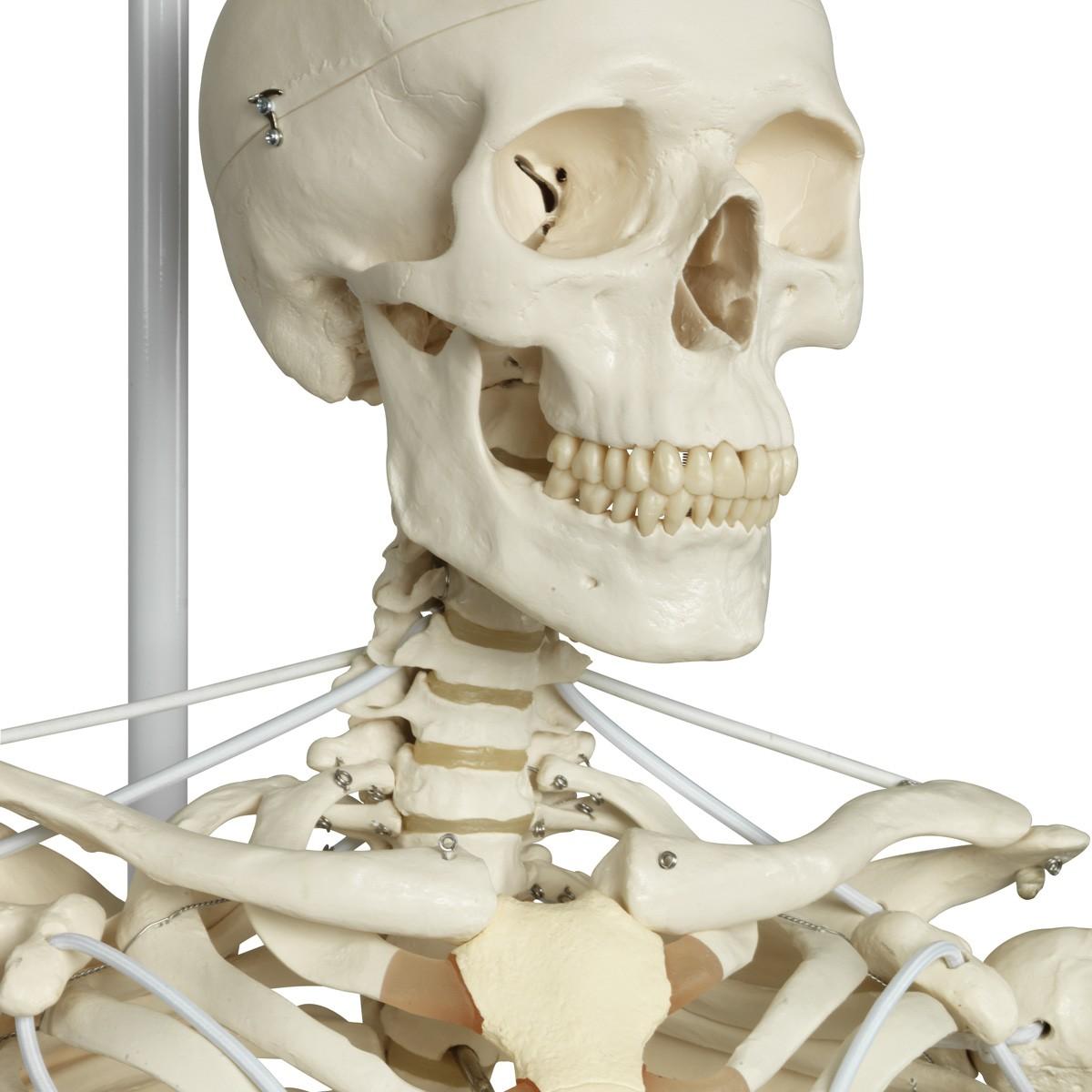 Feldi, das Funktionelle Skelettmodell