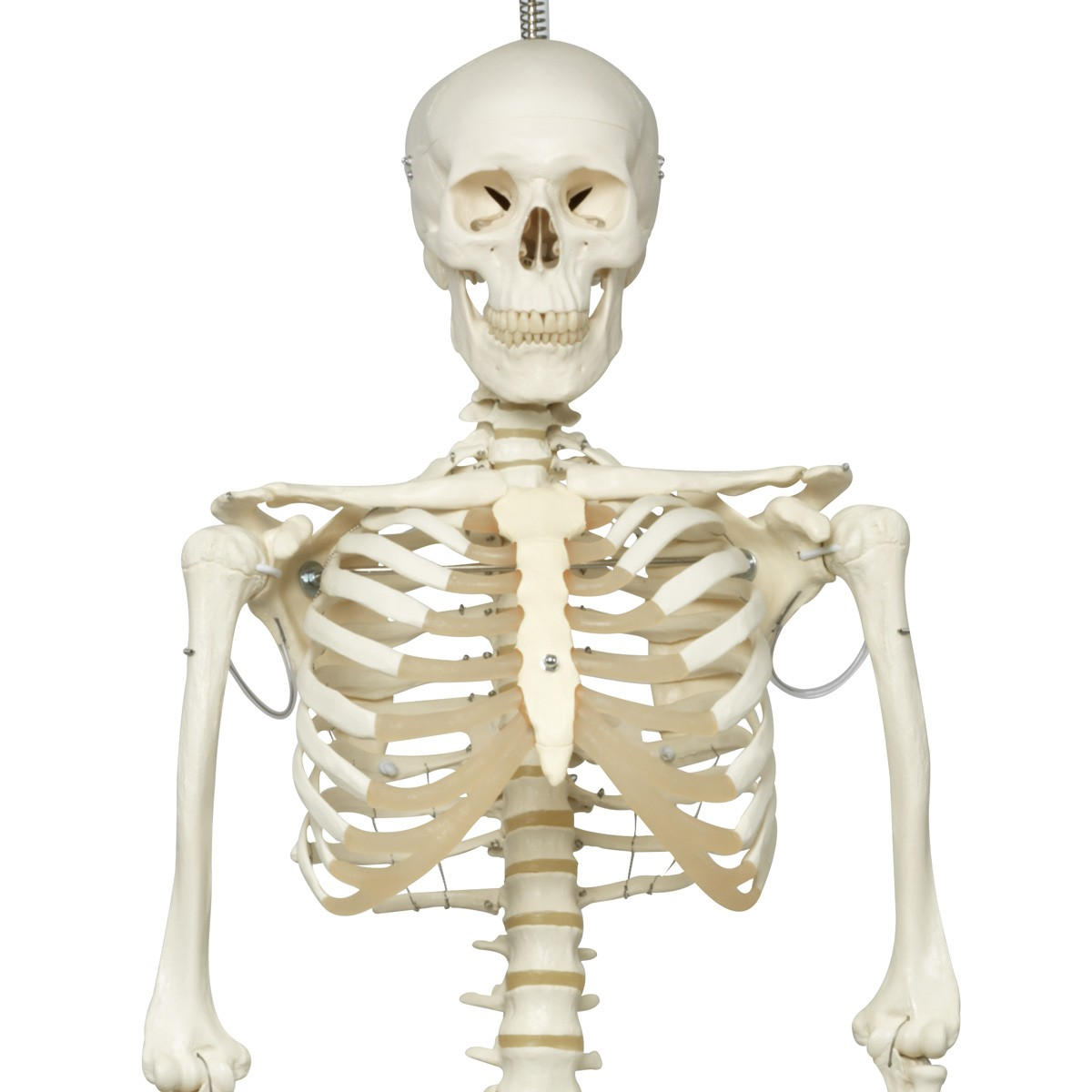 Skelett-Modell Phil, Physiologisches Skelett auf Hängestativ