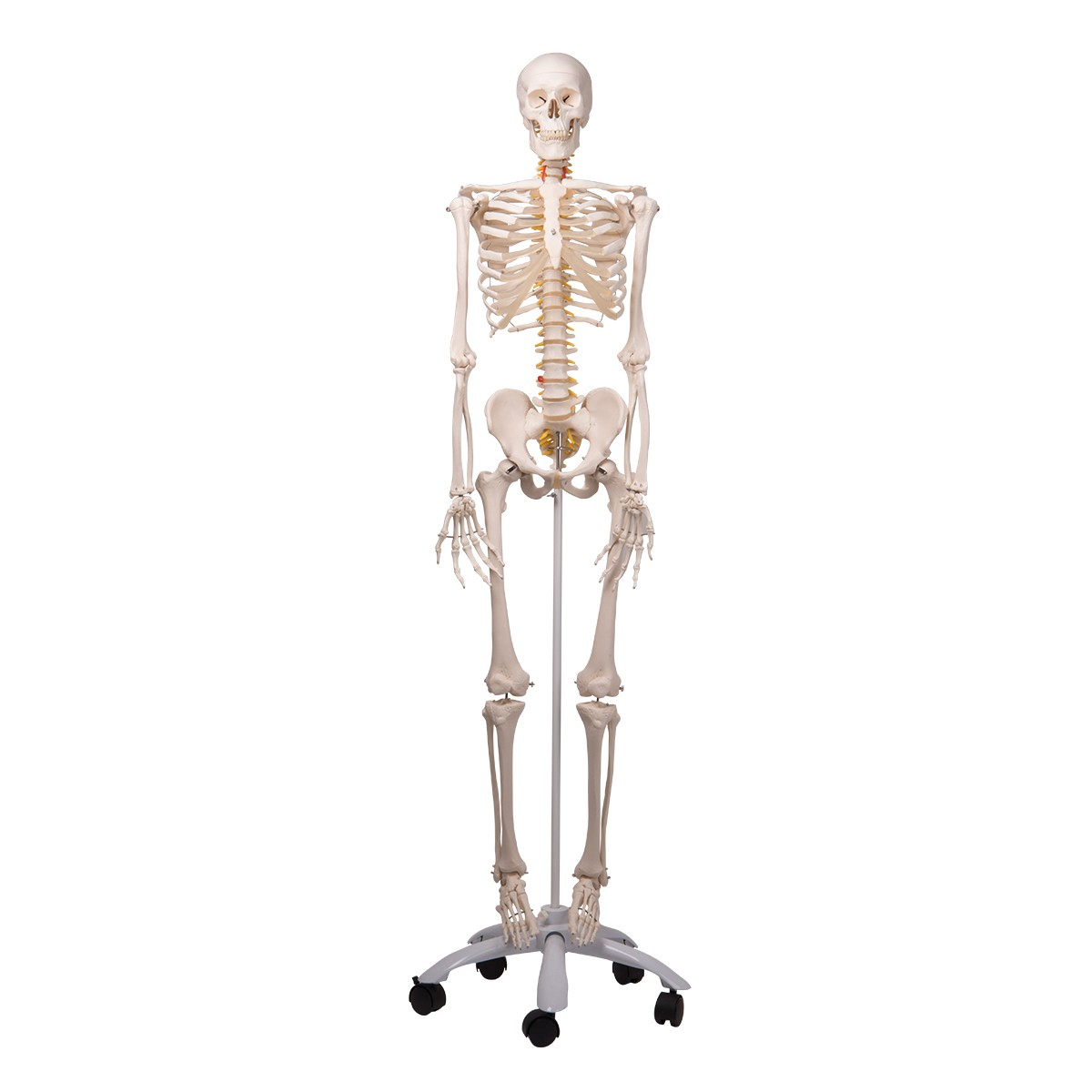 Skelett Modell Fred, Luxus Skelett auf 5-Fuß-Rollenstativ