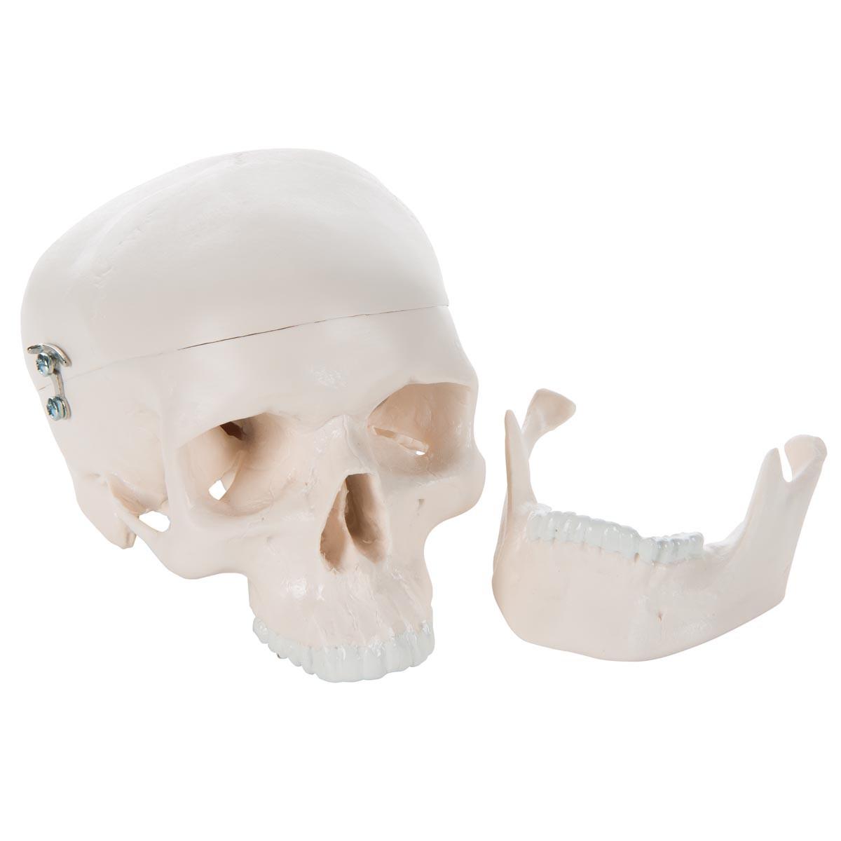 Mini Schädelmodell, 3-teilig