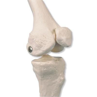 """Mini Skelett Modell """"Shorty"""" mit Muskelbemalung, auf Sockel"""