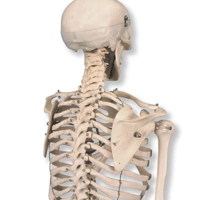 """Mini Skelett Modell """"Shorty"""", auf Sockel"""