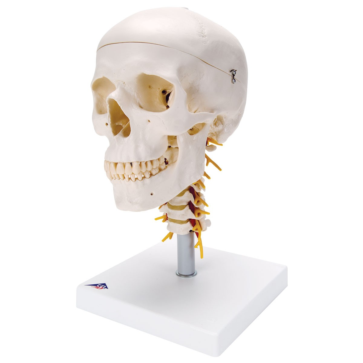 Anatomie Modelle - Schädel Modell mit Halswirbelsäule – \'Skelett mit ...