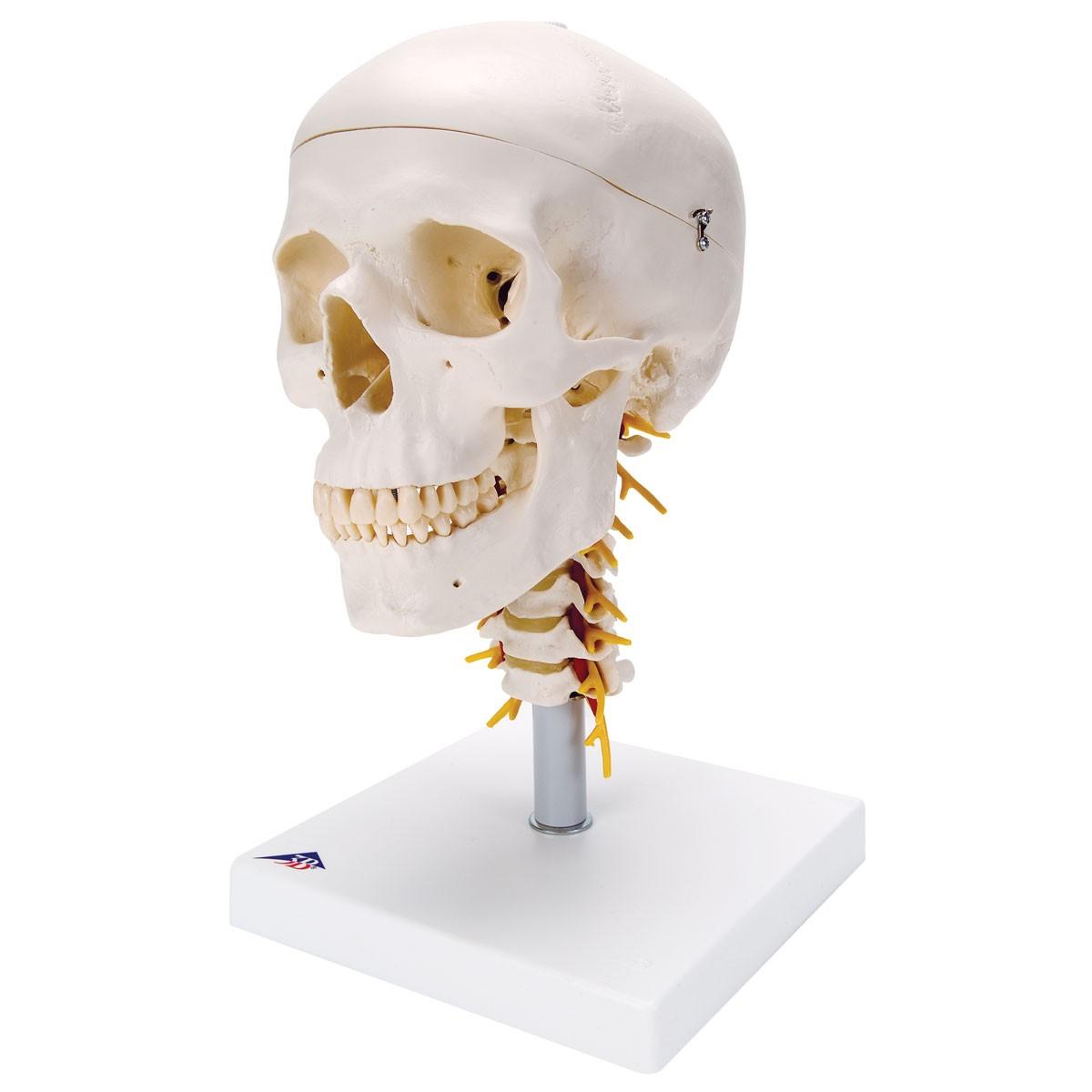 Klassik-Schädel auf Halswirbelsäule, 4-teilig