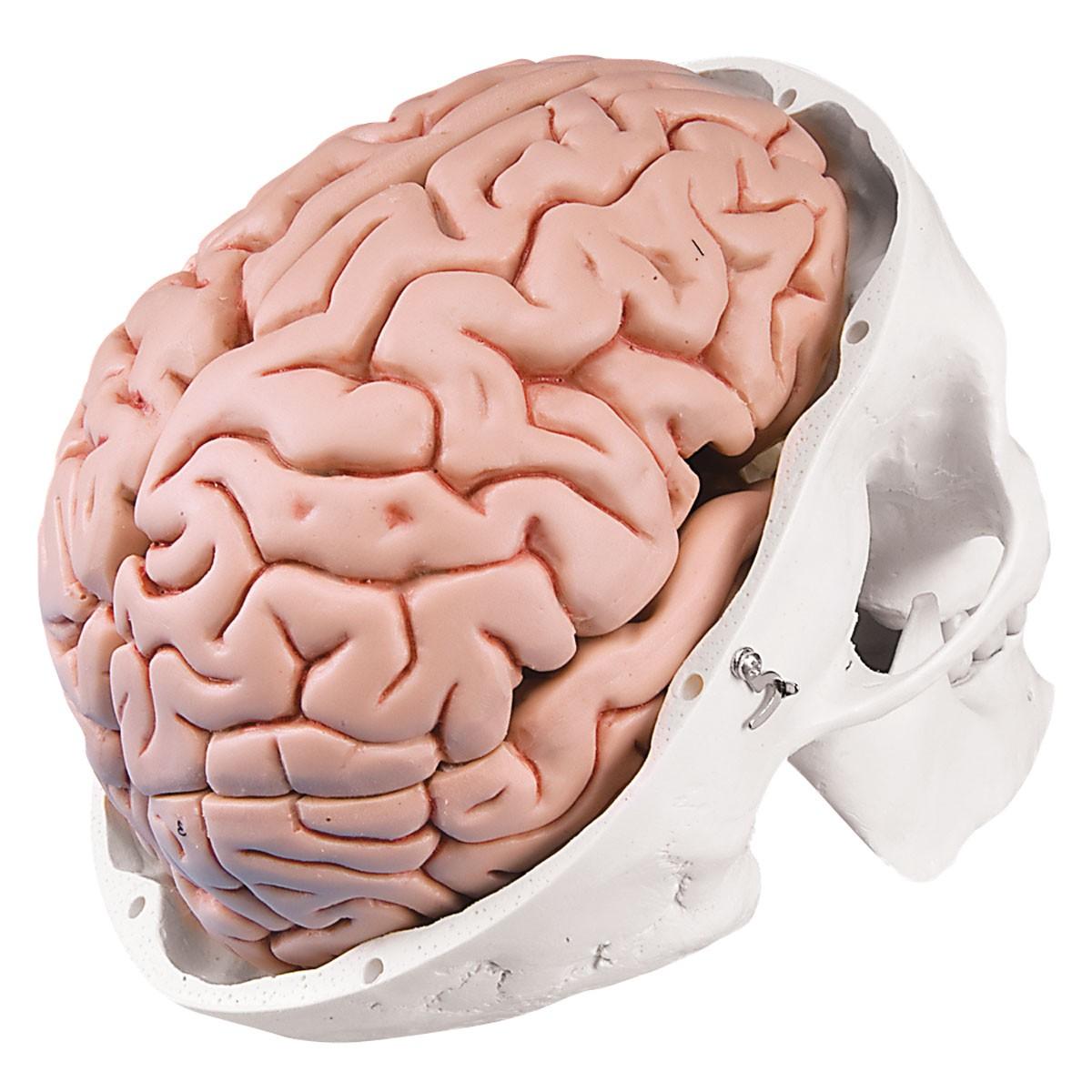 Klassik-Schädel mit Gehirn, 8-teilig