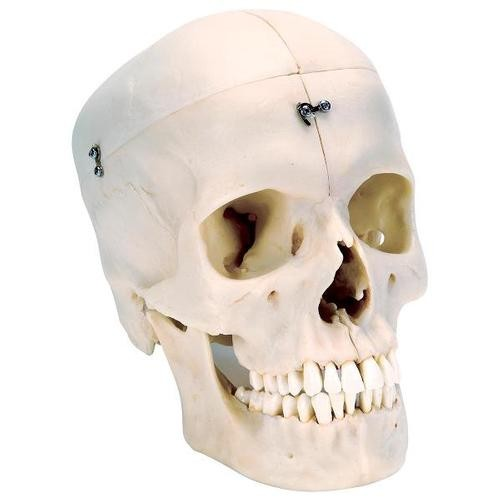 BONElike™ Schädel - Knöcherner Schädel, 6-teilig