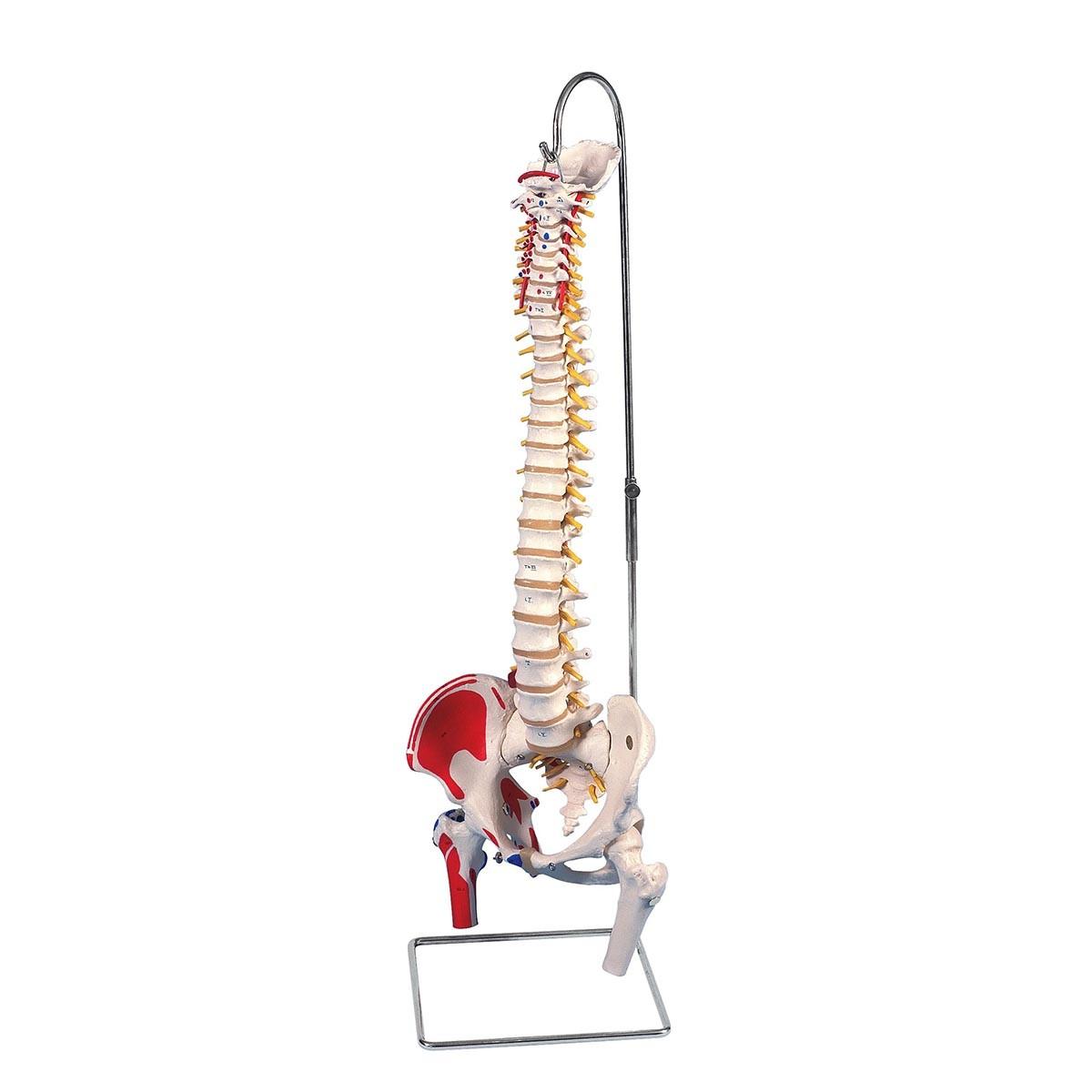 Bemalte klassische flexible Wirbelsäule, mit Oberschenkelstümpfen und Muskeldarstellung