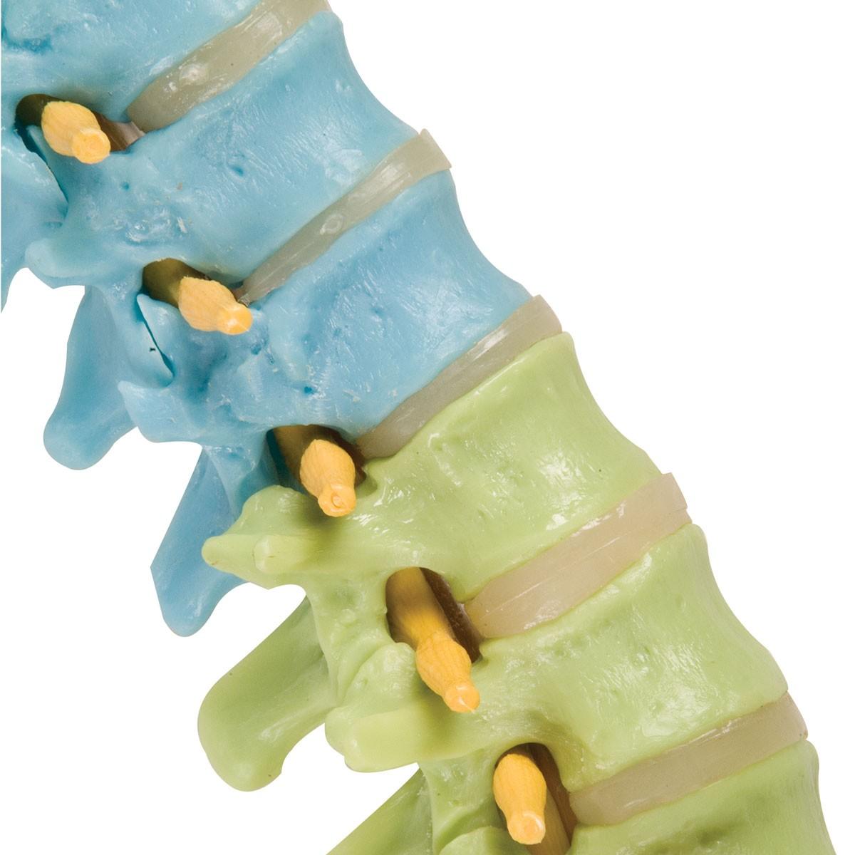 Didaktische flexible Wirbelsäule mit Oberschenkelstümpfen
