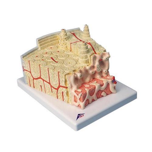 3B MICROanatomy™ Knochenstruktur - 80-fache Vergrößerung