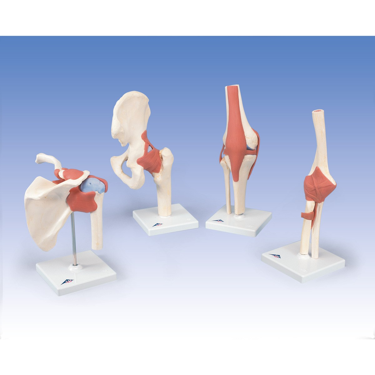 Luxus Schultergelenk-Funktionsmodell