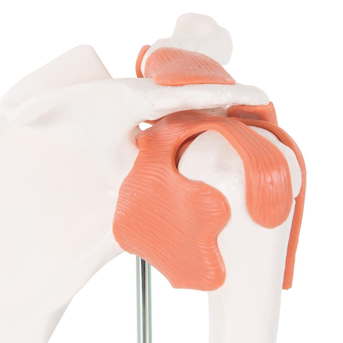 Schultergelenk-Funktionsmodell