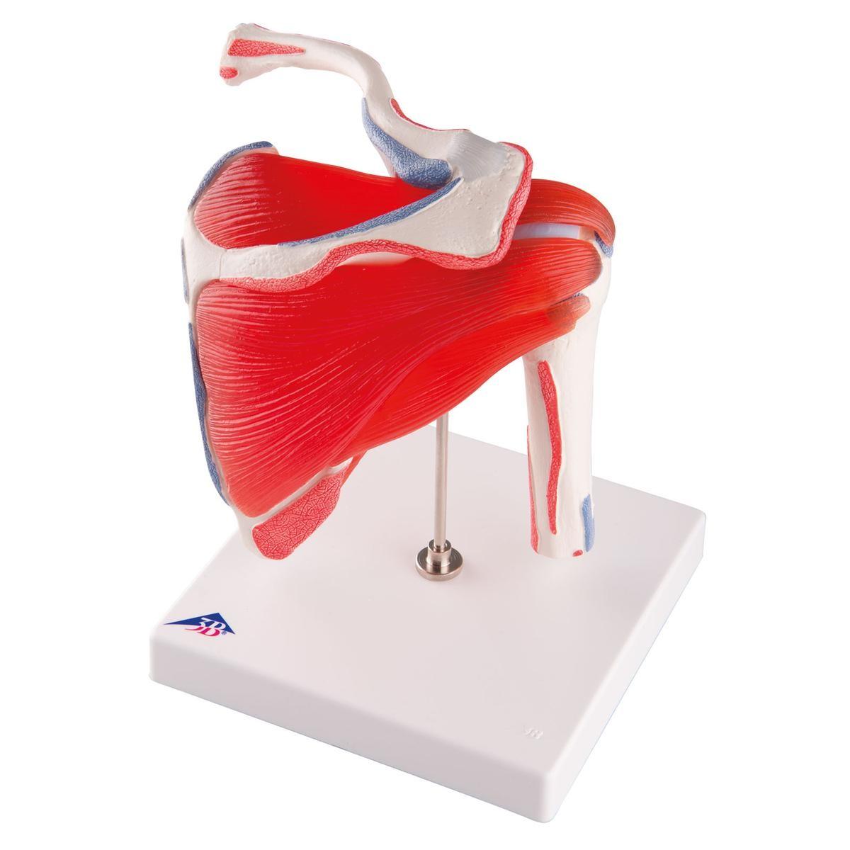 Schultergelenk Modell mit Rotatorenmanschette