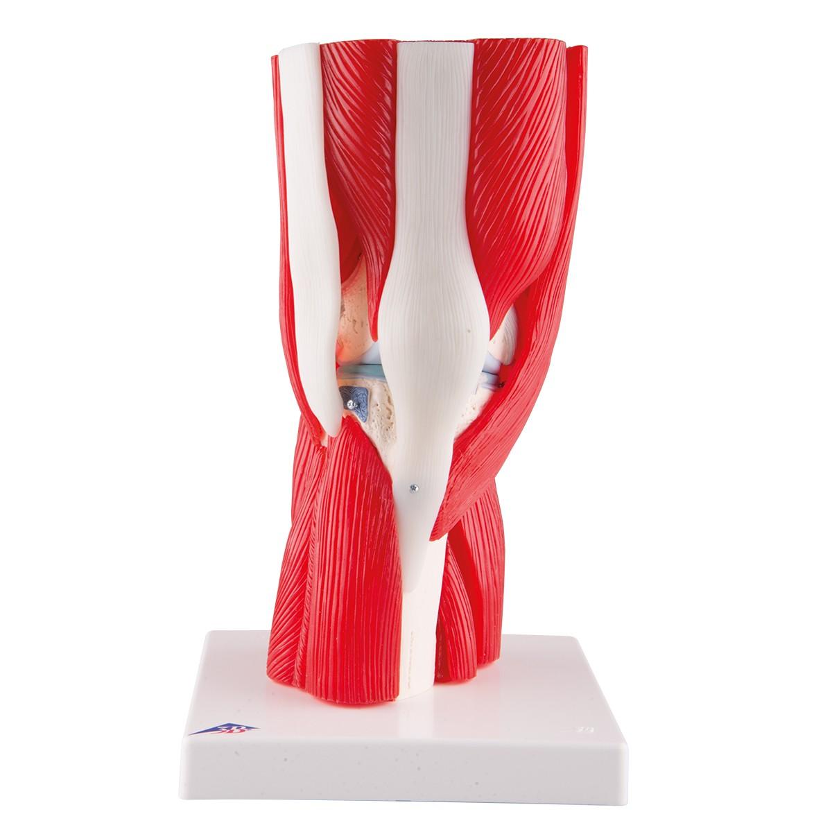 Anatomie Modelle - menschliches Knie, Anatomie des Kniegelenks mit ...
