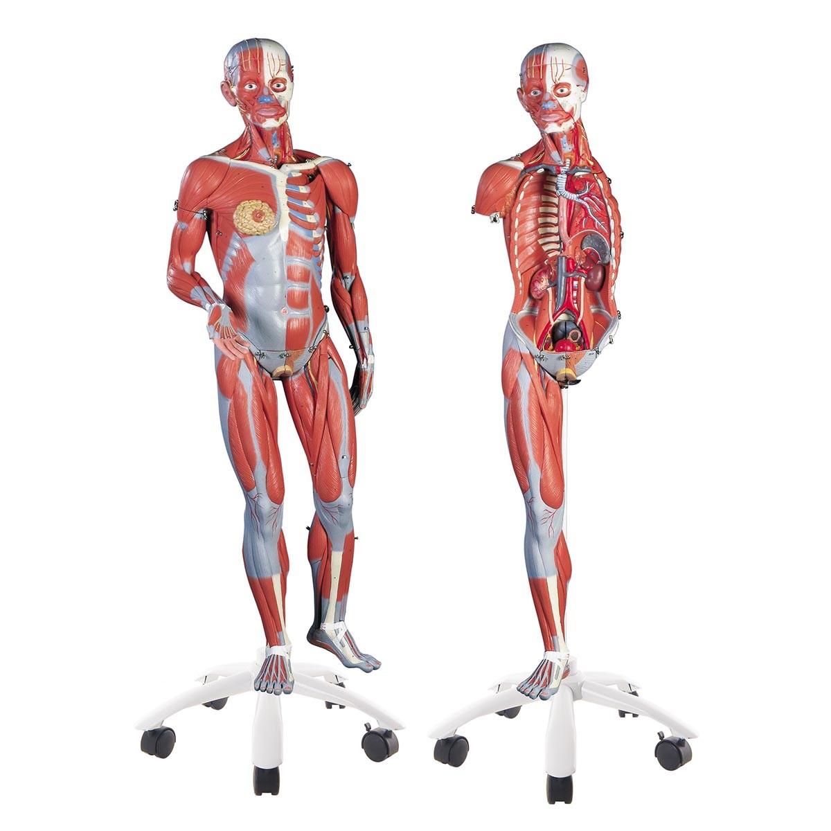 Anatomie der Muskeln - menschliche Muskelfigur, Anatomie des ...