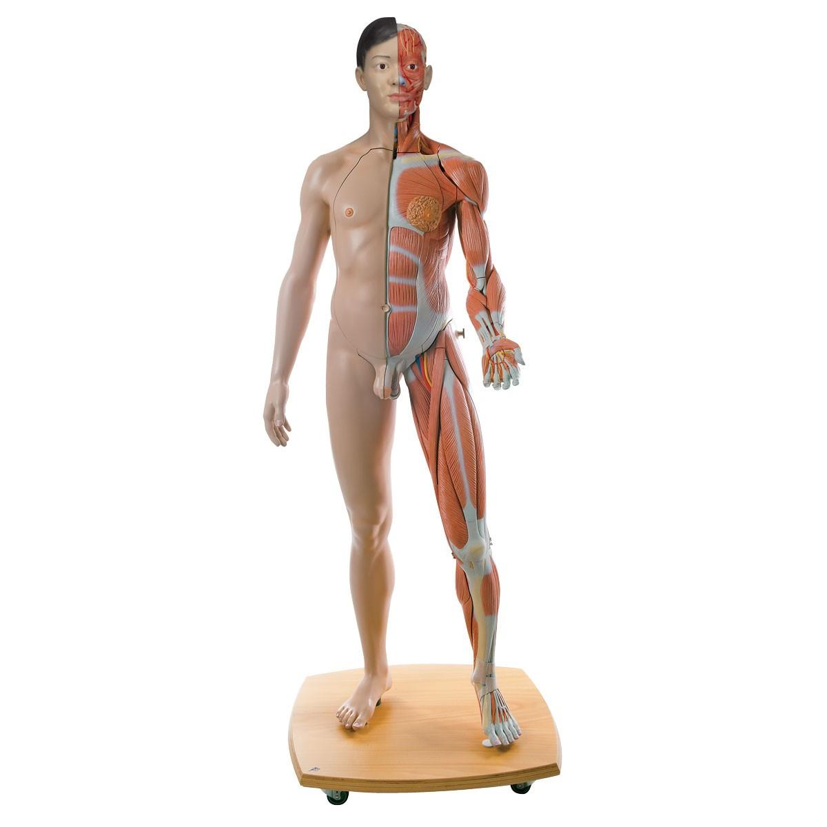 Lebensgroße zweigeschlechtige 3B Scientific® Muskelfigur, asiatisch, 39-teilig