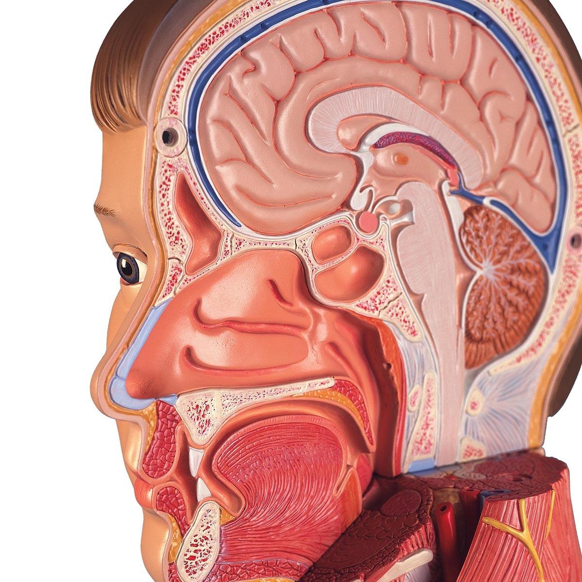 Lebensgroße zweigeschlechtige 3B Scientific® Muskelfigur, europäisch, 39-teilig