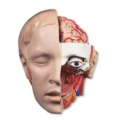 Kopfmodell, 6-teilig